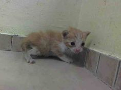 SAFE! TO BE DESTROYED 9/11/14 ** BABY ALERT! MALE CAME WITH QUEENA1013332 AND LITTER MATES A1013333, 3335, 3337, 3338, AND 3339 - ALLOWS HANDLING, NO SIGN OF AGGRESSION AND VERY SWEET ** Brooklyn Center  My name is SALT. My Animal ID # is A1013334. I am a male org tabby and white domestic sh mix. The shelter thinks I am about 3 WEEKS old.  I came in the shelter as a STRAY on 09/07/2014 from NY 11226, Group/Litter #K14-193425.