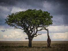 www.elfoton.com #elfoton14 @elfoton_es #categoria #fauna #sinfiltros #instagram Usuario: jordi_ms (Tanzania) - La Jirafa y la acacia - Tomada en Parque Nacional del Serengueti, Tanzania el 27/03/2013