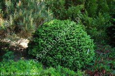 świerk pospolity 'Little Gem' - Picea abies 'Little Gem' | Katalog roślin - e-katalog roślin
