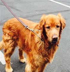 This is TJ Buddy - 10 yrs. He was an owner surrender to a shelter. He is neutered, current on vaccinations, rides ell in a car, good with dogs. He needs a cyst removed from below one eye and then he will be ready for a forever home. Golden Retriever Club of Greater Los Angeles Rescue. CA. - http://www.grcglarescue.org/RP_AdoptMe.asp?aid=2092