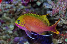 Opulent Osaka Part 2: Yuma Yasuda's Odontanthias katayamai filmed and photographed in stunning HD | Reef Builders