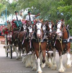 Budweiser Clydesdales, the king of Draft Horses All The Pretty Horses, Beautiful Horses, Animals Beautiful, Big Horses, Horse Love, Clydesdale Horses Budweiser, Tierischer Humor, Animals And Pets, Cute Animals