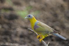 Yellow Footed Green Pigeon by Sandeep Dutta on 500px