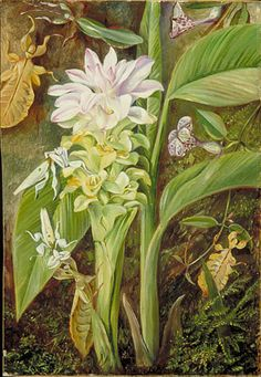 Turmeric by Marianne North. Botanical Flowers, Botanical Art, Botanical Gardens, Vintage Botanical Prints, Botanical Drawings, Marianne North, Plant Illustration, Botanical Illustration, Garden Of Earthly Delights