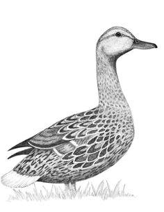 Waterfowl drawing art print note card hand drawn ducks