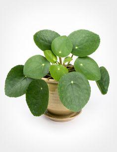die besten 25 money plant images ideen auf pinterest pflanze chinesische pflanzen und. Black Bedroom Furniture Sets. Home Design Ideas