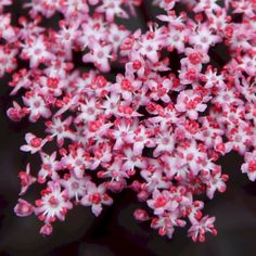 Flieder/ Holunderbeere Black Lace (Eva) / Sambucus nigra Black Lace (Eva)