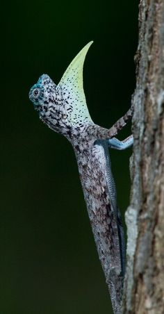 a flying dragon (Draco volans) extending the dewlap under its chin. The flying dragon also possesses flaps of skin stretched between its elongated ribs, allowing it to glide from tree to tree in the forests of South East Asia.