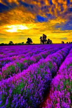 Sunset,lavender fields, France