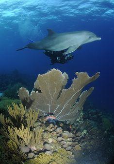 www.reishonger.nl wp-content uploads 2012 12 duiken-met-dolfijnen-curacao.jpg