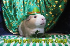 Irish+guinea+pigs   Guinea Pigs in Hats