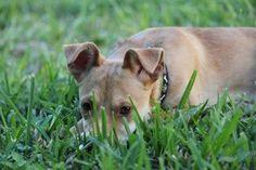 Chiweenie dog for Adoption in Von Ormy, TX. ADN-526688 on PuppyFinder.com Gender: Female. Age: Young