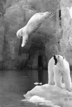 Baby polar bear making a leap.