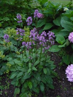 Stachys 'Hummelo' In the mint family. Hardy plant, drought resistant. Takes some shade.