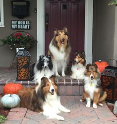 One Collie and 4 Shelties. Beauties.