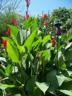 Attract hummingbirds to your yard by planting Canna Lilies in your garden. These large tropical subtropical flowers will lure hummingbirds to your garden all summer long.