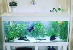 My black moor goldfish planted aquarium : PlantedTank Goldfish Plant, Goldfish Aquarium, Aquarium Fish Tank, Planted Aquarium, Fish Aquarium Decorations, Aquarium Ideas, Black Goldfish, Fish Tank Themes, Cool Fish Tanks