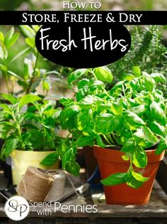 How to store, freeze & dry fresh herbs!  Stored properly, they can last a long time in the fridge!