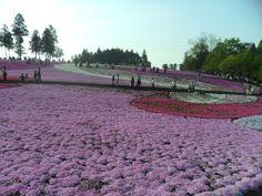 Hitsujiyama Park, Chichibu, Japan http://www.cheapojapan.com/pink-and-white-flowered-hills-of-hitsujiyama-park-chichibu/ #flowers #japan