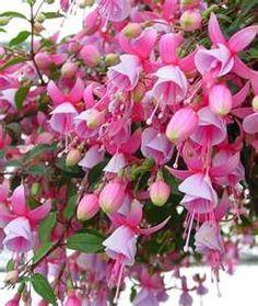 beautiful pink fuchsia