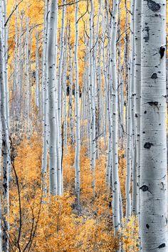 ~~Barcode ~ Aspen trees, Gunnison, Colorado by Dan Smith~~