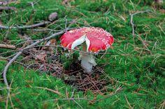 Mushroom, paddenstoel