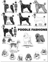 This is an old poster of poodle clips. These are slightly dated versions of the clips but it shows the versitility of the poodle coat. As a dog groomer and life long poodle fan having this breed is… Dog Grooming Styles, Poodle Grooming, Pet Grooming, Poodle Haircut Styles, Poodle Cuts, Bulldog Breeds, Pet Breeds, Dog Wash, Dog Grooming Business