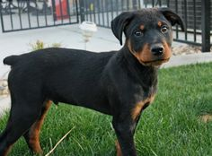 rottweilers are my favorite!