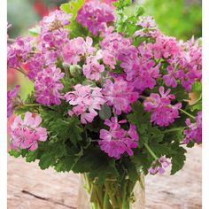 I'm obsessed by these three scented-leaf pelargoniums. I pick the foliage for very long-lasting arrangements, use the edible flowers to decorate puddings, and harvest the leaves all the time to use as flavouring. PLUS they look fantastic.