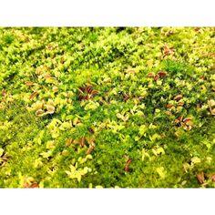 Dionaea seedlings (2015)  #Dionaea #dionaeamuscipula #seedling #seedlings #Carnivorousplant #VFT #Venusflytrap #plant #carnivoroustagram #carnivorous #nature #botany #naturelovers #naturegram #sunny #plantswithbite by taudan