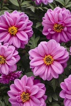 Dahlightful Lively Lavender is one of four dahlias to join the Proven Winners plant lineup. This large plant has gorgeous bright blooms offset by leaves that darken as they age.