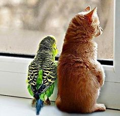 Cats and birds can be friends as long as the bird is not teasing the cat and the cat not wanting to eat the bird. LOL How cute is it to see a bird and a cat looking out the window together? ~Me  #cats #cute #catlovers