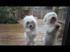 DANCING MALTESE PUPPIES - YouTube