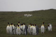 King Penguins, Kerguelen Archipelago