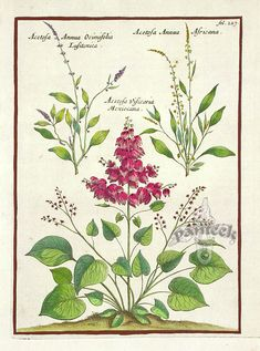 Munting Antique Botanical Prints, Acetosa annua Ocimifolia Africana