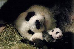 Zoo Atlanta  Giant pandas Lun Lun and Mei Lan