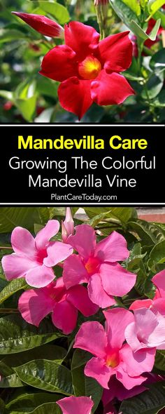 Mandevilla plant care, find out how to successfuly grow the mandevilla vine, a beautiful trellis patio plant, that can be overwintered. [LEARN MORE] planting Mandevilla Plant Care: [HOW TO] Grow Colorful Mandevilla Trellis Vines Patio Plants, Outdoor Plants, Garden Plants, Outdoor Gardens, House Plants, Balcony Gardening, Roses Garden, Garden Beds, Sun Garden
