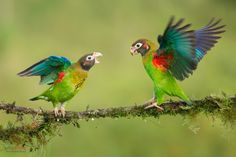 Brown-hooded Parrot (Pyrilia haematotis) displaying by Chris Jimenez on 500px