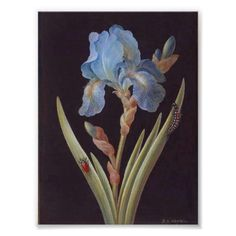 Iris germanica with caterpillar and beetle (gouache on vellum) Wall Art & Canvas Prints by Barbara Regina Dietzsch Vintage Botanical Prints, Botanical Drawings, Flower Drawings, Botanical Flowers, Botanical Art, Botanical Science, Dibujos Pin Up, Illustration Blume, Plant Drawing