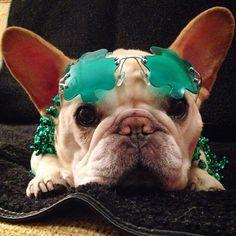 French Bulldog on St. Patricks Day, via the daily walter cronkite