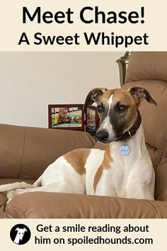 Meet Chase, a happy and gorgeous whippet dog. Get a smile reading his story on Spoiled Hounds! #pets #dogs #whippet Ibizan Hound, Pharaoh Hound, Whippet Dog, The Perfect Dog, Afghan Hound, Irish Wolfhound, Whippets, Songs To Sing, Italian Greyhound
