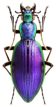 Ceroglossus solieri - Different Ideas Cool Insects, Bugs And Insects, Weird Insects, Beetle Insect, Insect Art, Beautiful Bugs, Beautiful Butterflies, Beautiful Creatures, Animals Beautiful