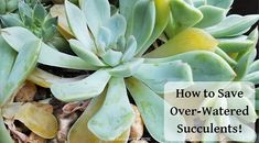 Learn to grow succulents! Proper succulent care is simple once you understand what succulents need & why. Simple steps to succulent success! Propogate Succulents, Suculent Plants, Succulent Cuttings, Succulent Gardening, Succulent Care, Planting Succulents, Container Gardening, Succulent Species, Agave Plant
