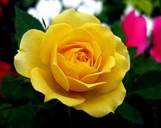Yellow rose: During the 1800's Europe loved roses, however only pink and white roses where being cultivated. The yellow rose was later found in the middle east, growing naturally.  The rose, however, did not have any scent.  The scent was later breed into the yellow rose which attained an symbolic meaning of friendship.