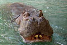 Hippo - National Zoo