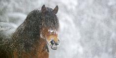 North Swedish Horse/Swedish Draft Horse. Magnificent!