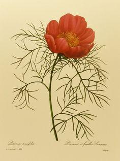 Vintage Fern Leaf Peony Botanical Flower Print by Redoute (Marie Antoinette Court Artist)