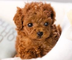 poodle <3