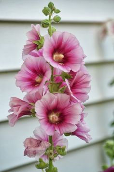 Hollyhocks, do u remember ur Dad loves these but ur Mom hates them? Ive always intended to plant a bunch ;-) just 4 those reasons Patrick Birkholz Tall Flowers, Giant Flowers, Exotic Flowers, Amazing Flowers, Beautiful Flowers, Tall Perennial Flowers, Summer Flowers, Hollyhocks Flowers, Arte Floral