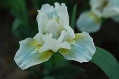 My Business - Standard dwarf bearded iris listing